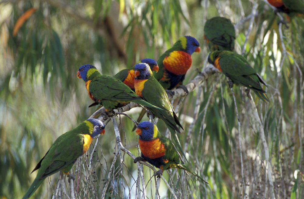 Rainbow Lorikeet.Trichoglossus haematodus.Australia