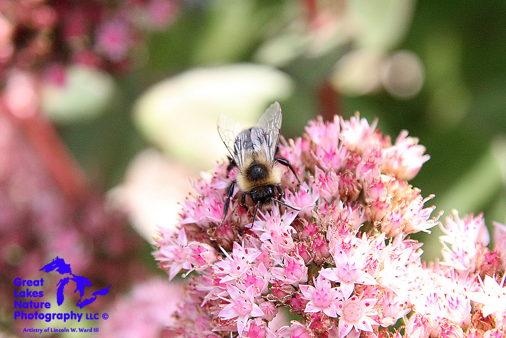 Stretching the foraging season as far as he can, this poor little bumblebee seems unaware that summer is over, and that these sedum flowers are likely to have very little remaining in the way of sweet nectar.