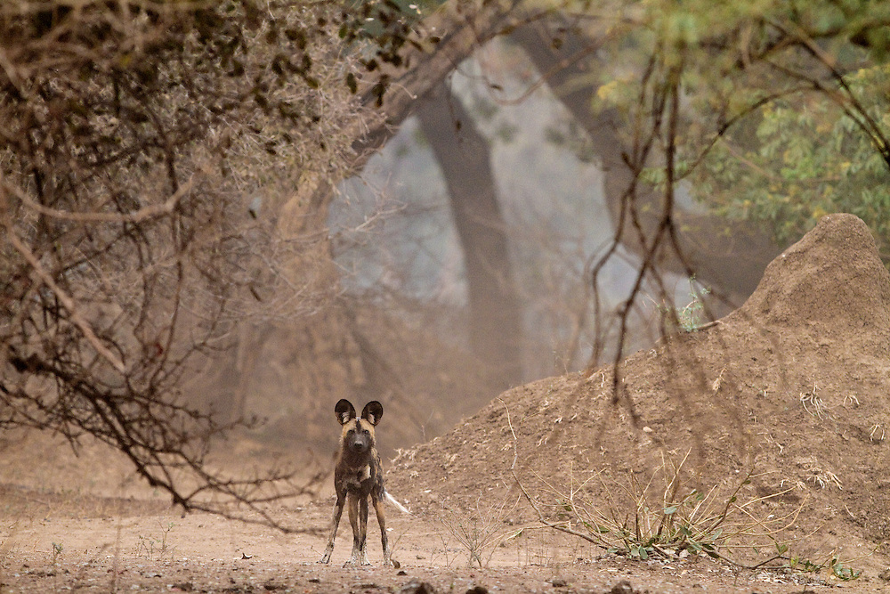 One adult African Wild Dog standing alert in a forest of trees looking at the camera.
