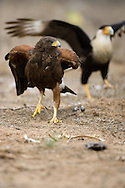 Harris's Hawk (Parabuteo unicinctus) fighting with Crested Caracara (Caracara cheriway)<br /> TEXAS: Hidalgo Co.<br /> Las Colmenas Ranch<br /> 14-March-2006<br /> J.C. Abbott #2248