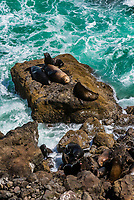 Sea lions lying on rocks near the Heceta Head Lighthouse, near Florence, Oregon USA.