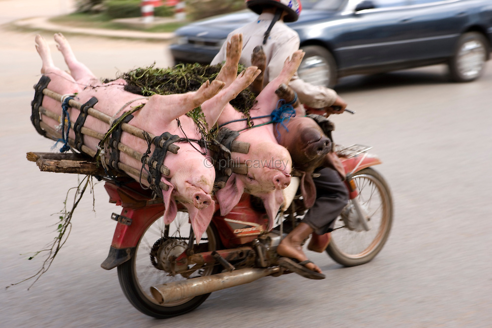 Pigs on the back of a motorcycle on the way to market in Cambodia, Asia