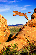 350103-1056 ~ Copyright:  George H. H. Huey ~ 350103-1056 ~ Copyright:  George H. H. Huey ~ Mountain lion [Puma concolor or Felis concolor].  Also known as cougar or puma.  Jumping in rocks in high desert of the Colorado Plateau.  Near Zion National Park, Utah.