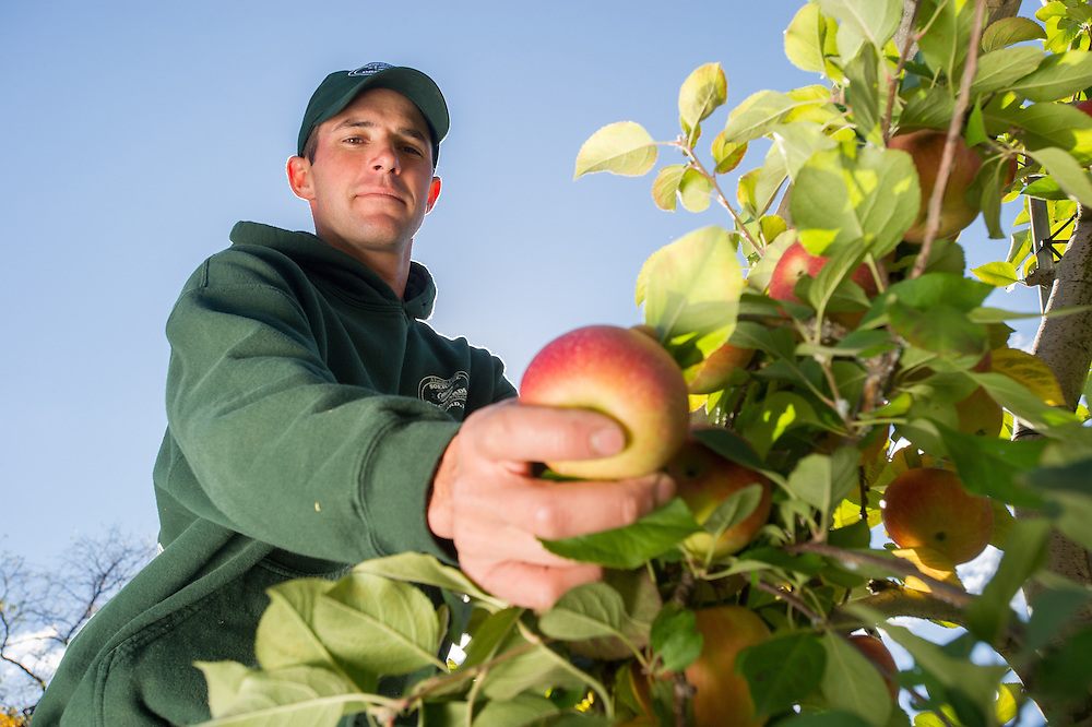 Farmer checking apples at an apple orchard in Wexford, Pennsylvania, USA