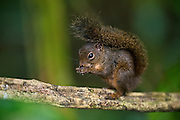 Amazon Red Squirrel (Sciurus sp.)<br /> Cocaya River. Eastern Amazon Rain Forest. Border of PERU &ECUADOR. South America