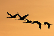 Israel, Hula Valley, silhouette of five  Grey Cranes Grus grus flying at sunset winter February 2008