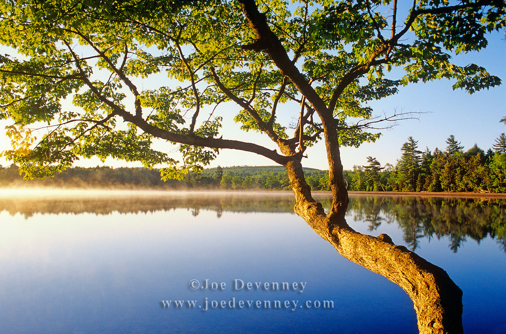 Tree at sunrise on Upper Jo-Mary Lake. Northern Maine