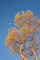 Subalpine Larch (Larix lyallii)