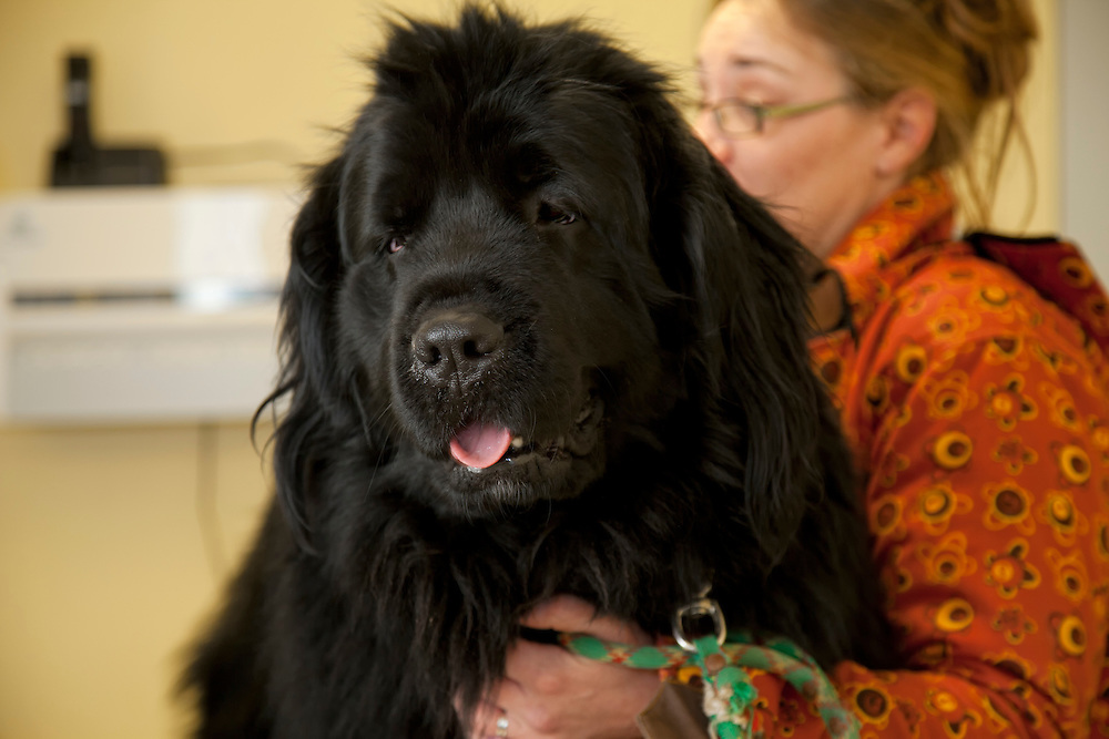Newfoundlander (Cannis Familiaris) dog on veterinarian table at a clinic. France