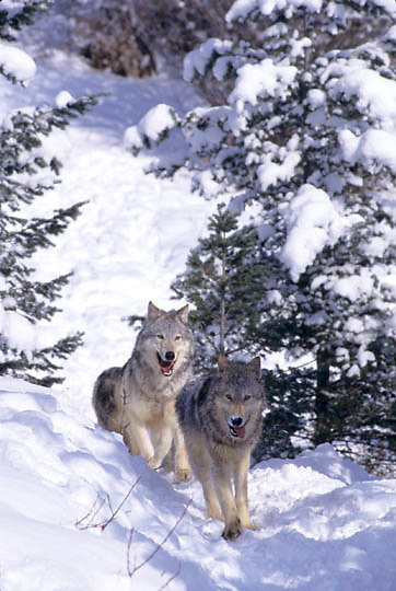 Gray Wolf, (Canis lupus) Pack running. Winter. Rocky mountains. Montana.  Captive Animal.