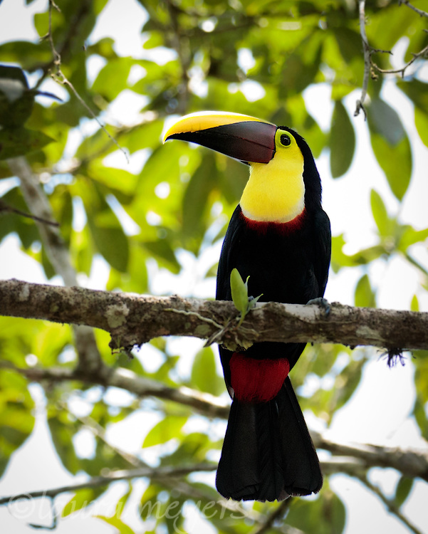 Black-mandibled Toucan on Branch with rainforest leaves in background.