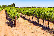 rows of grape vines on a vineyard near Waikare, South Australia, Australia