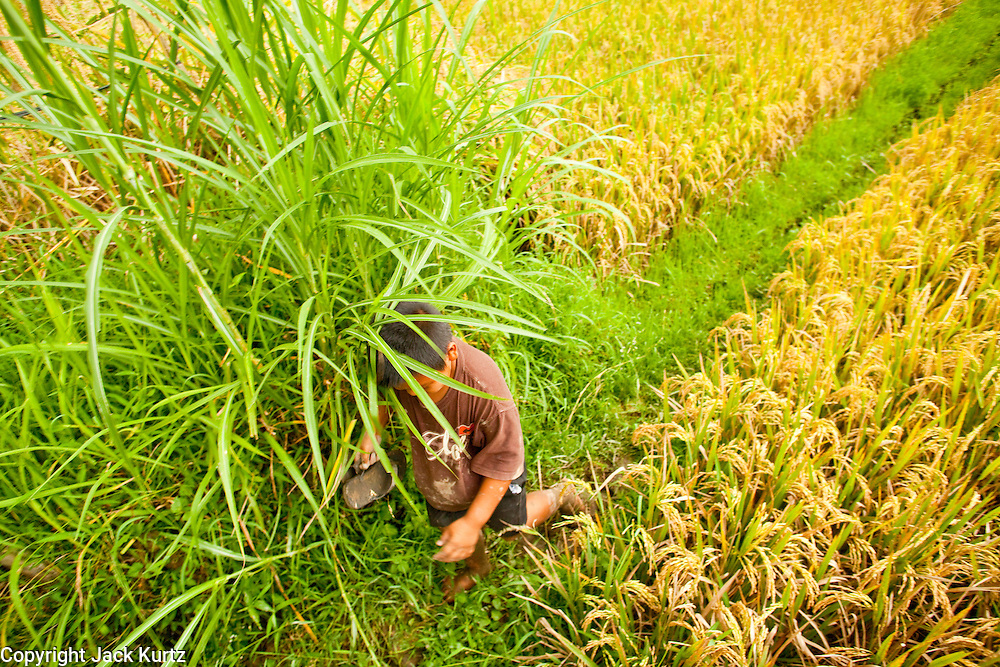 Apr. 22 - UBUD, BALI, INDONESIA:  A boy walks through a rice paddy and past a Hindu shrine in Ubud, Bali. Rice is an integral part of the Balinese culture. The rituals of the cycle of planting, maintaining, irrigating, and harvesting rice enrich the cultural life of Bali beyond a single staple can ever hope to do. Despite the importance of rice, Bali does not produce enough rice for its own needs and imports rice from nearby Thailand.   Photo by Jack Kurtz/ZUMA Press.