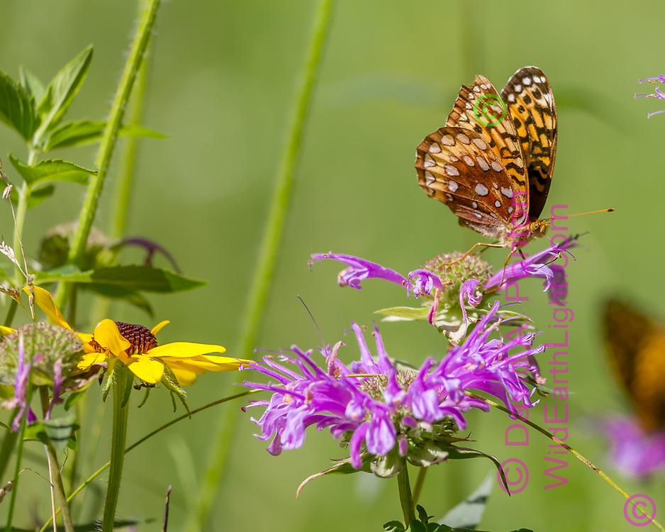Fritillary butterfly feeding on horsemint blossom , with black-eyed Susan blossom nearby, mountain wildflower meadow, Jemez Mountains, NM. © 2010 David A. Ponton