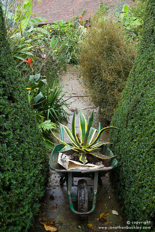 Agave americana 'Variegata' in a wheelbarrow - lifted and ready for overwintering
