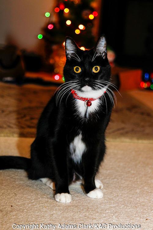 Socks, a domestic short hair, Tuxedo cat.
