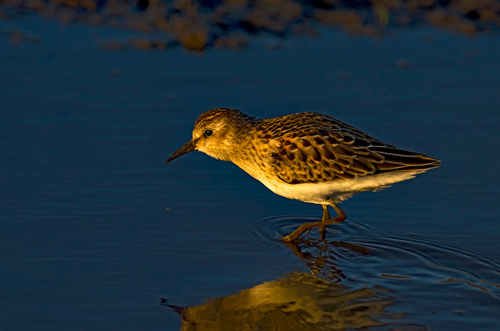 Least Sandpiper in Baskett Slough National Wildlife Refuge