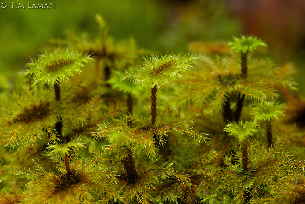 Moss details.<br />Foja Mountains - upper montane forest at 2050 m.