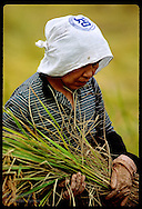 Woman in scarf bows head as she cradles sheaf of rice harvested on family farm; (v) Utsunomiya. Japan