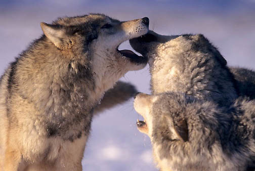 Gray Wolf, (Canis lupus) Greeting each other. Montana. Winter. Captive Animal.
