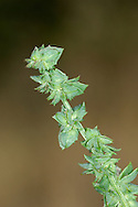 COMMON ORACHE Atriplex patula (Chenopodiaceae) Height to 60cm. Variable, branched annual; sometimes upright but often prostrate. Found on bare ground. FLOWERS are small, greenish and borne in leafy spikes (Jul-Sep). FRUITS are diamond-shaped, toothless and lack warts. LEAVES are toothed; upper ones are lanceolate while lower ones are triangular. STATUS-Widespread and common.