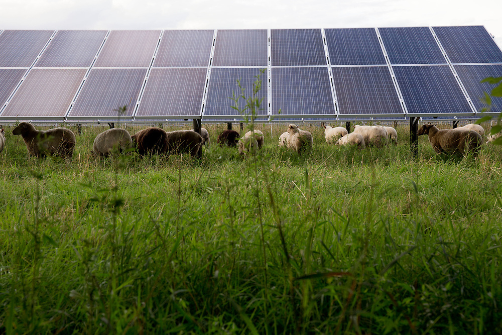 Dorset Tunis sheep graze under solar panels at dusk at Open View Farm in New Haven, Vt., on Aug. 19, 2017. Installed in 2013 for farm owners Cross Pollination Inc. to leave room for grazing, Anna Hurlburt said the panels provide shade for the sheep in summer's hot days. Hurlburt and her husband, Ben Freund, lease the farm from Cross Pollination. (Photo by Geoff Hansen)