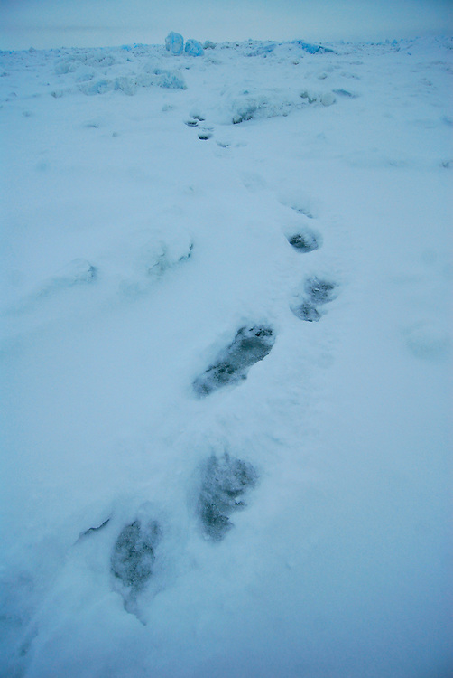 Barrow, Alaska. Polar bear tracks on the ice of the Arctic Ocean during Spring. May 2007