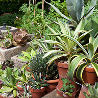 Agaves growing in clay flower pots in a container garden.