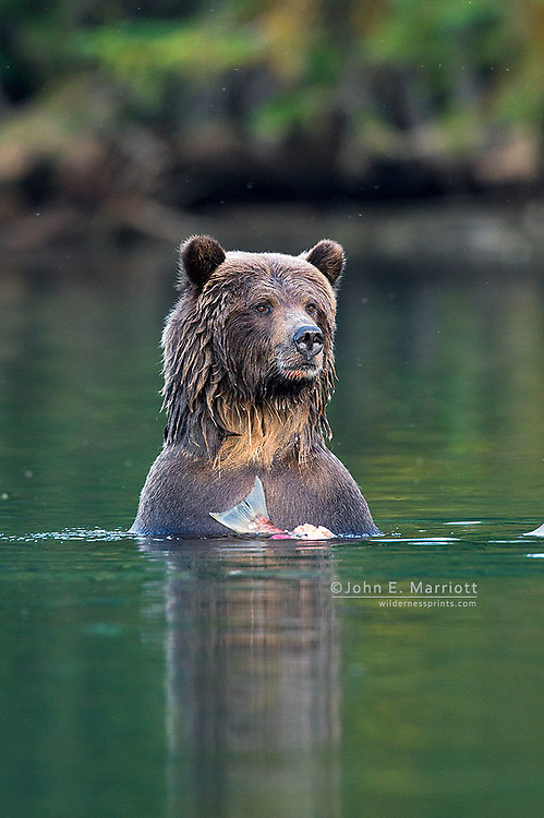 Grizzly bears, Chilcotin, BC