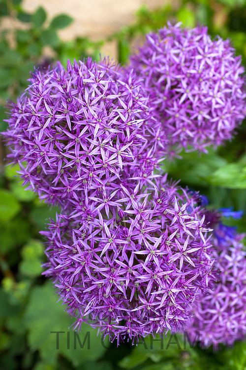 Purple Allium Globemaster plant forms flower head as spikey large globe in bloom in summer in Gloucestershire, UK