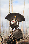Male Dusky grouse in habitat