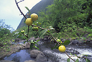 Guava tree, Kalalau Valley, Kauai, Hawaii<br />