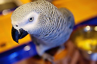 Tui, a two-year-old African grey parrot, was spotted for months by residents in Coeur d'Alene but the Partenfelders could never capture the bird.