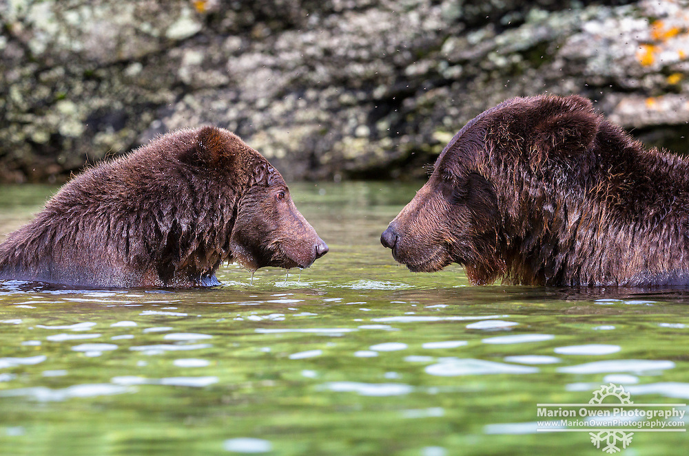 Two femail coastal brown bears face each other in Katmai National Park and Preserve, SW Alaska, summer
