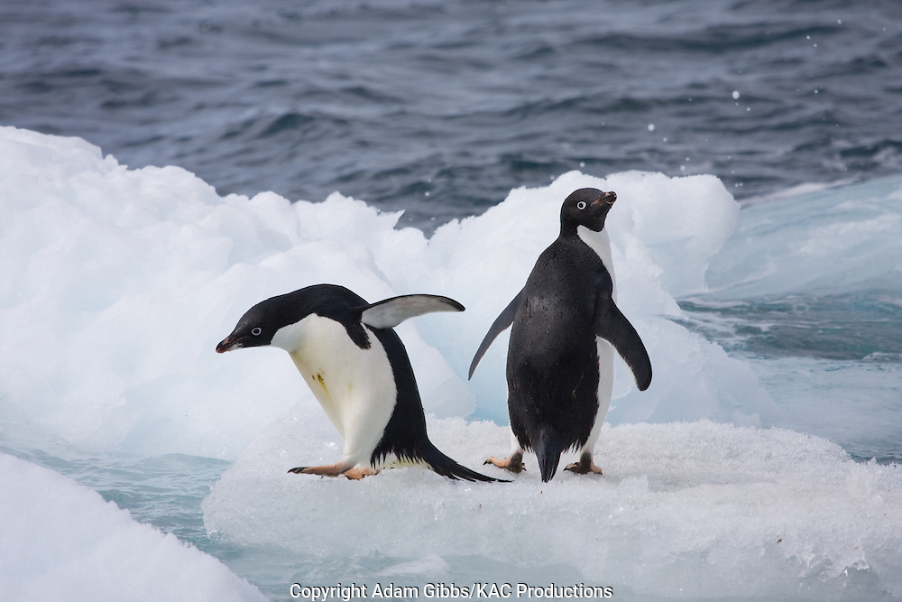 Adelie penguin, Antarctica, Pygoscelis adeliae, Paulet Island, pair on ice flows, jumping.
