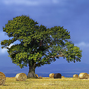 Tibbermore tree and hay bales, Perthshire