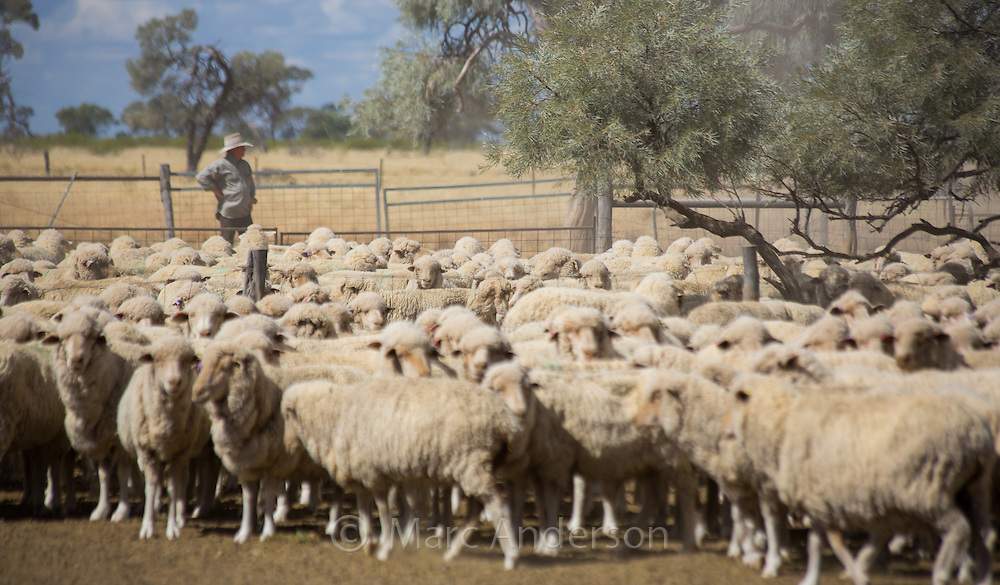 Farmer with a large flock of merino sheep in the dry, dusty outback of Queensland, Australia