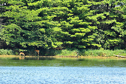 24 July 2018:   Comlara Park nature: White-tailed deer (Odocoileus virginianus) - doe and white spotted fawn at lakes edge getting a drink