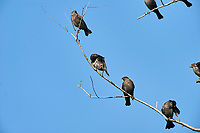 Flock of Brown-headed Cowbird (Molothrus ater)   perched in a tree, Jocotopec, Jalisco, Mexico