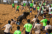 In Palamadu Jallikattu participants try to tame the bull.