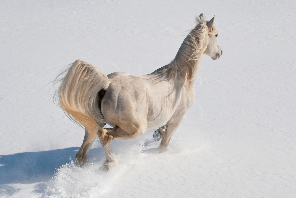 Picture taken above and behind a white Arabian horse running in fresh snow, mane and tail flying.