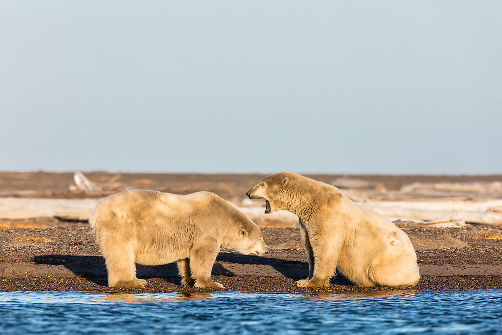 Polar Bears (Ursus maritimus)  interacting on barrier island along Beaufort Sea  in Kaktovik, Alaska. Autumn. Afternoon.