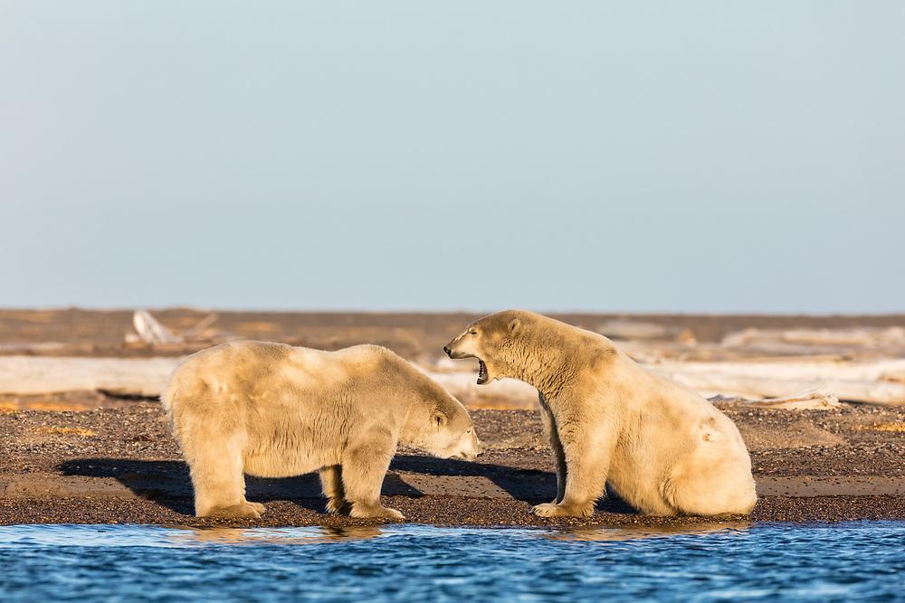 Polar Bears (Ursus maritimus)  interacting on barrier island along Beaufort Sea  in Kaktovik, Alaska. Autumn. Afternoon.