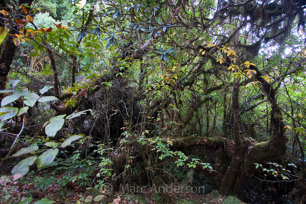 Montane forest in a damp sphagnum bog, Ang Ka Nature Trail, Doi Inthanon National Park, Thailand