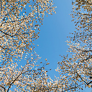 Branches laden with Cherry Blossom flowers ring the frame, with clear blue sky in the middle of the frame. Taken during peak bloom around the Tidal Basin in Washington DC.