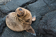 Galapagos Sealion pup (Zalophus wollebaeki)<br /> Urvina Bay, Isabela Island<br /> GALAPAGOS ISLANDS<br /> ECUADOR.  South America