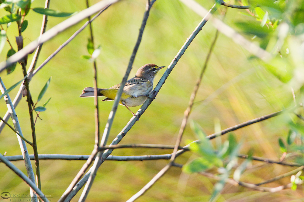 Guana River State Park, Florida -- Yellow-rumped Warbler, Dendroica coronata is a migratory bird which travels to Central America and the Caribbean for winters. Among warblers it is one of the last to leave North America in the fall, and among the first to return..