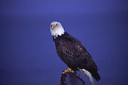 Bald eagle, Alaska<br />