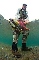 A Happy Angler shows off his catch---sockyeye salmon...Kanektok River..shot in Alaska, USA..