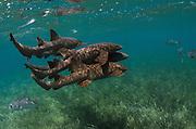 Nurse Shark (Ginglymostoma cirratum) & Horse-eye Jacks (Caranx latus)<br /> Shark Ray Alley<br /> Hol Chan Marine Reserve<br /> Belize Barrier Reef<br /> near Ambergris Caye and Caye Caulker<br /> Belize<br /> Central America